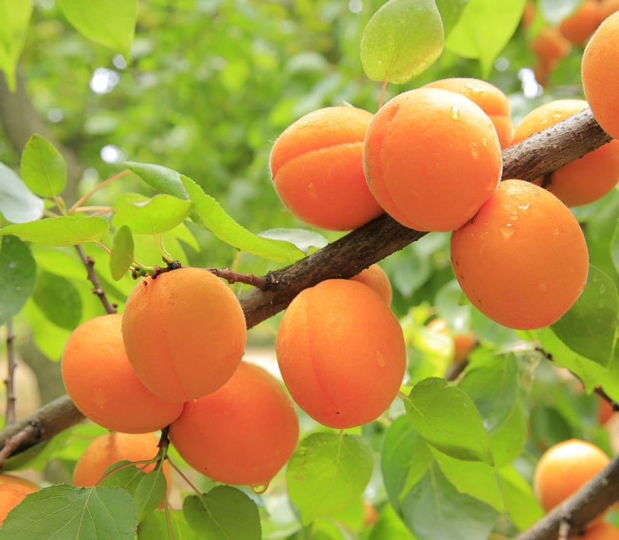 apricots1-min.jpg